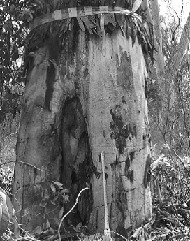 'Aboriginal scar' on tree recording in 1995 in the Wangal Woodland (published in Australian Archaeology 59:60).