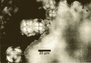 Starch grains (published in Australian Archaeology 48:42).