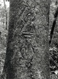 A zoomorphic or anthropomorphic figure carved into the bark of a northern silky oak near Ravenshoe, NE Qld (published in Australian Archaeology 41:17).
