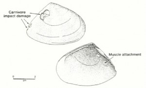 Pipi shell (published in Australian Archaeology 31:71).